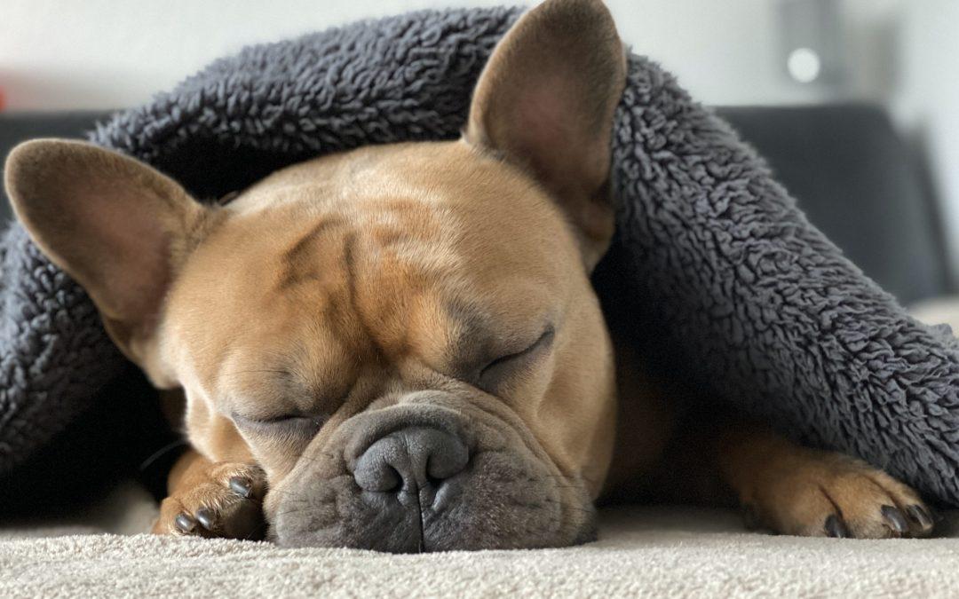 Derfor skal du vælge en fransk bulldog